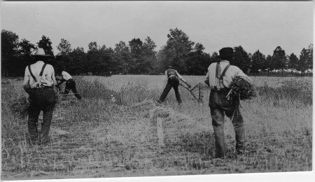 Cutting Wheat with Cradles, Iredell Co. NC (NCSU Archives)
