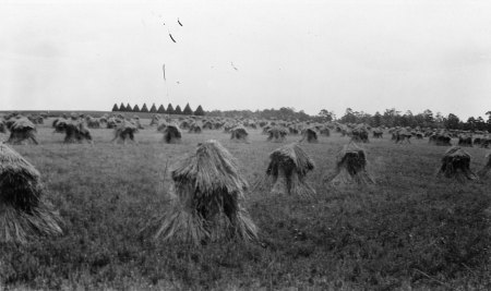 Purplestraw Wheat - Carpenter Farm, Gaston Co., NC (1929- NCSU Archives)