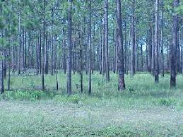 A long leaf pine savannah