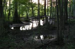 A swamp around Florence, SC