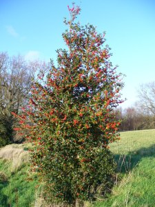 Holly_Tree_by_Chase_Wood_-_geograph.org.uk