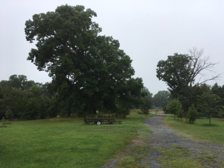 Oak trees at 722 West Main Street, Franklinville, NC
